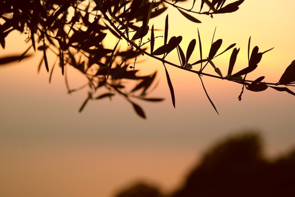 olive tree, branch, sunset